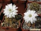 Gymnocalycium damsii ssp. evae v. torulosum - VoS037