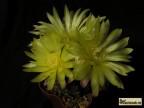 Gymnocalycium andreae var. doppianum GK 640 (cat.n.), fechseri aff., SL