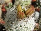 Gymnocactus mandragora KMR 102