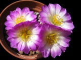Купить семена Mammillaria