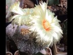 Astrophytum asterias (white terry flower)