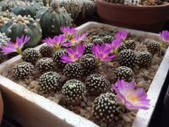 Mammillaria luethyi RUS-453  Aquachile, Coach.