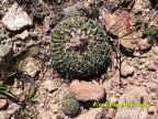 Echinofossulocactus phyllacanthus RUS 469, La Luz, SLP