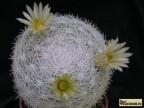 Mammillaria candida RS 288 Soledad NL B