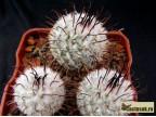 Mammillaria perezdelarosae