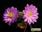 Mammillaria roczekii