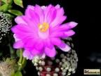 Mammillaria theresae MK 173.486