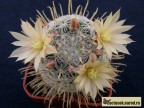 Mammillaria duwei RUS 469 La Luz, SLP