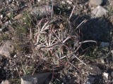 Купить кактус Glandulicactus