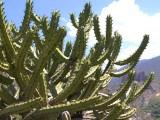 Купить семена Myrtillocactus