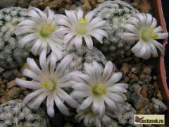 Mammillaria sanchez-mejoradae Munucipio Galeana NL