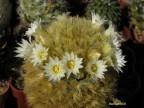 Mammillaria carmenae Tamaulipas