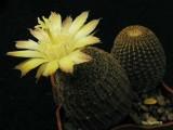 Купить кактус Reicheocactus