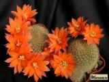Купить кактус Aylostera