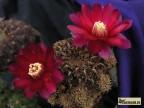 Sulcorebutia markusii ssp.tintiniensis HS 57