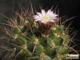 Купить кактус Neowerdermannia