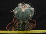 Купить кактус Echinocactus