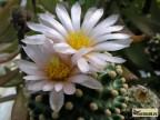 Pediocactus knowltonii
