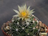 Купить кактус Neobesseya