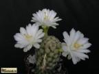 Mammillaria theresae f.albiflora