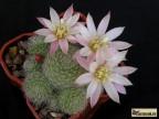 Rebutia hybr. 'Sunrise' x albiflora