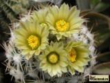 Купить кактус Escobaria
