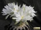Discocactus hybr. ( 'ammophyllus' x horstii)