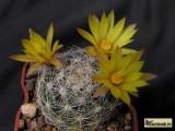 Купить кактус Dolichothele