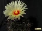 Astrophytum senile Sierra Paila