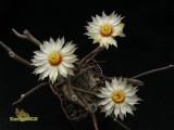 Купить кактус Digitostigma