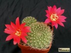 Rebutia grandiflora
