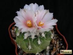 Turbinicarpus lophophoroides RS 622 Villa Juarez SLP