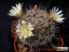 Mammillaria duwei aff El Vergel, Guanajuato