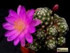Mammillaria haudeana