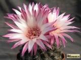 Купить семена Pyrrhocactus