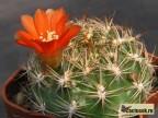 Weingartia sp.HS 93A - oranž. květ