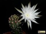 Купить кактус Pygmaeocereus
