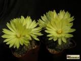 Купить кактус Parodia