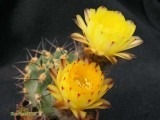 Купить кактус Acanthocalycium