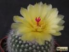 Notocactus  scopa v. marchersii
