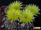 Lobivia pusilla v.flaviflora
