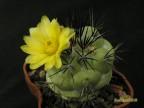 Ortegocactus macdougallii Oaxaca
