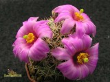Купить кактус Bartschella