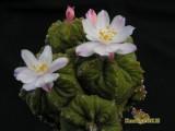 Купить кактус Aztekium
