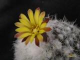 Купить кактус Rimacactus