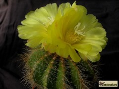 Notocactus warasii (ERIOCACTUS)