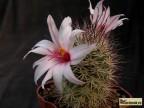 Mammillaria fraileana Cape