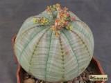Купить суккулент Euphorbia