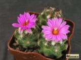 Купить кактус Coryphantha