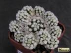 Mammillaria gracilis cv. ARIZONA SNOWCAP